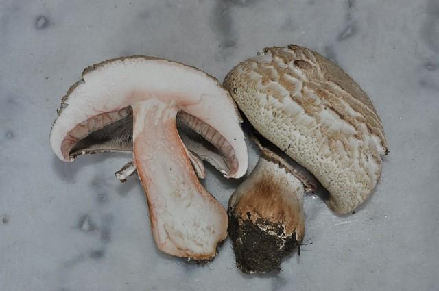 Agaricus benesii  (Pilát) Pilát 1951 (A.squamulifer auct.) ES - juin 13
