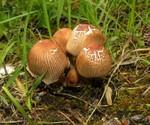 Coprinus angulatus Peck 1874 ES - mai 13