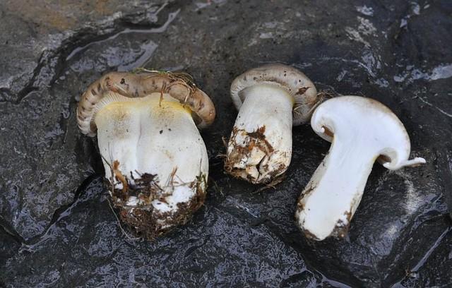 Hygrophorus agathosmus var. aureofloccosus  (Bres.) A. Pearson & Dennis 1948 ES - septembre 13