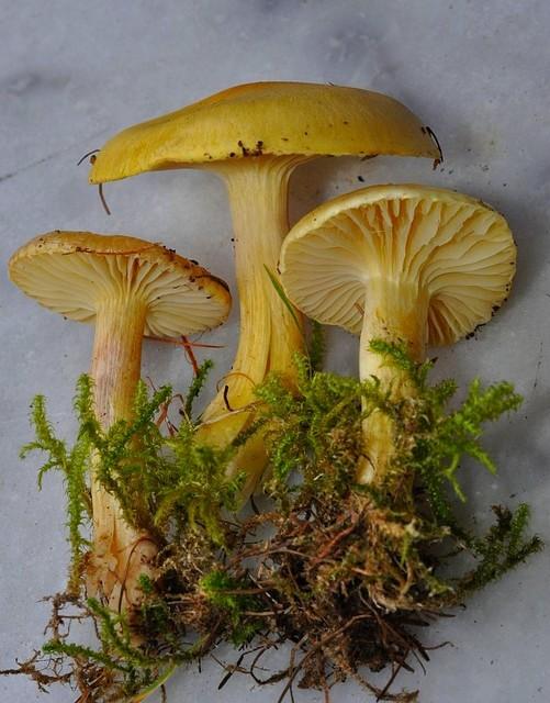 Hygrophorus lucorum  Kalchbr. 1874 ES - octobre 13