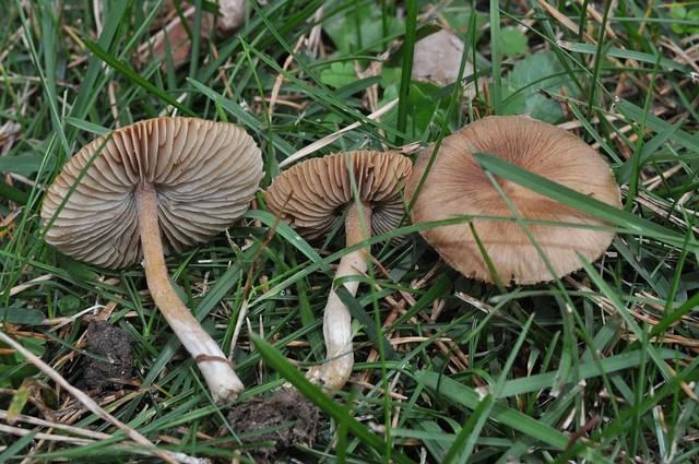 Inocybe friesii  R. Heim 1931 (Inocybe nitidiuscula auct.) ES - novembre 13