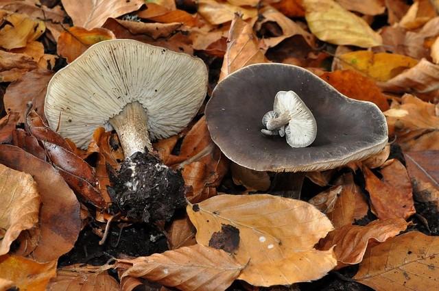 Melanoleuca brevipes  (Bull.) Pat. 1900 ES - octobre 13