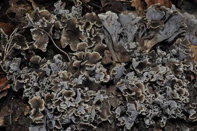 Pseudocraterellus sinuosus  (Fr.) Corner 1958 ES - octobre 13