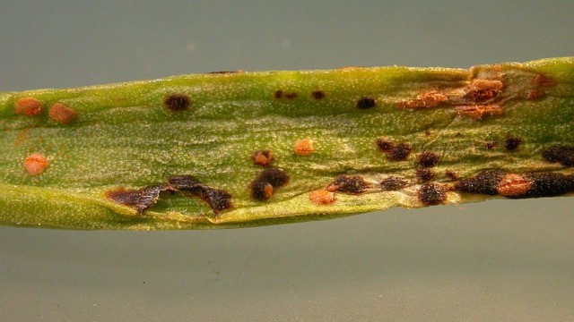 Puccinia porri 
