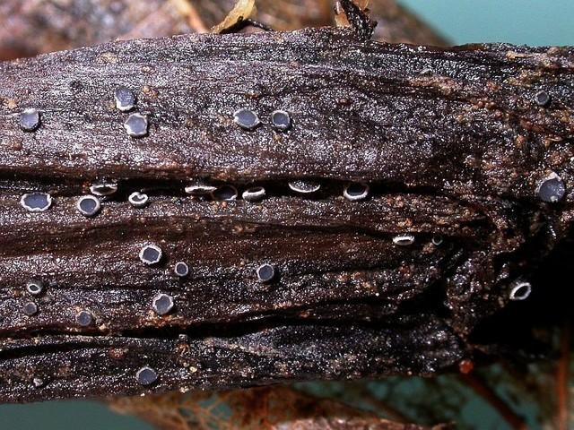 Pyrenopeziza baraliana  Gminder 2006 photo Gilbert Bovay mai 13