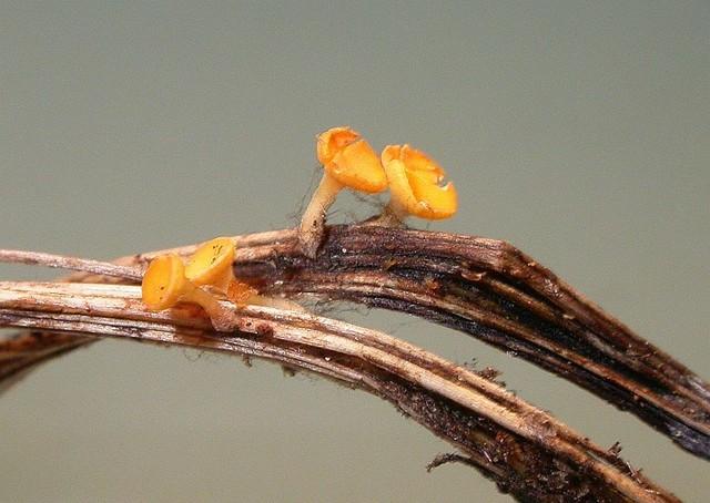 Hymenoscyphus menthae  (W. Phillips) Baral 1985 photo Gilbert Bovay juillet 14