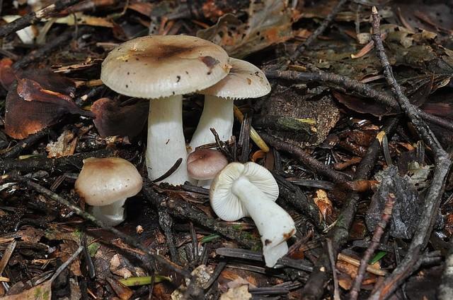 Russula puellaris  Fr. 1838 ES - août 14