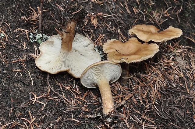 Clitocybe amoenolens Malençon 1975 (Paralepistopsis amoenolens (Malençon) Vizzini 2012 auct.) ES - août 14