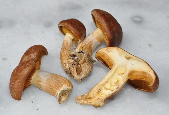 Gymnopilus picreus  (Pers.) P. Karst. 1879 ES - novembre 14