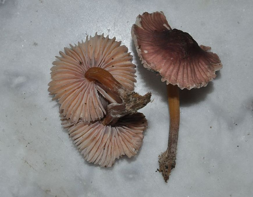 Gymnopus inodorus  (Pat.) Antonín & Noordel. 1997 ES - juillet 14