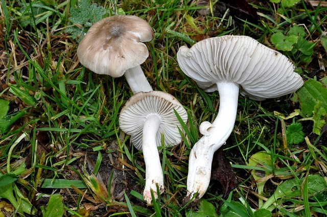 Hygrocybe fornicata (Fr.) Singer 1951