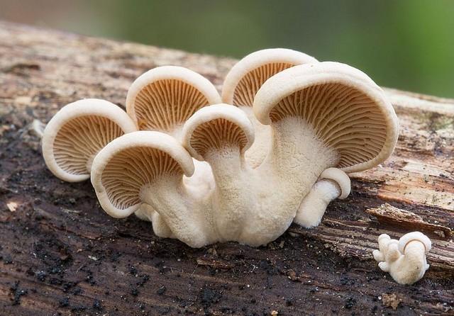 Panellus stipticus  (Bull.) P. Karst. 1879 photo Claude-Alain Berdoz octobre 14