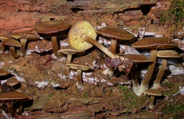 Callistosporium pinicola Arnolds 2006 photo Gilbert Bovay octobre 15