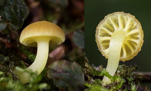 Hygrocybe grossula  (Pers.) Pätzold & Laux 2013 (ex Chrysomphalina grossula) photo Claude-Alain Berdoz novembre 15