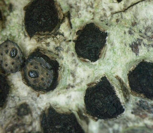 Diatrypella quercina  (Pers.) Cooke 1866 photo Bernard Desponds  juin 15
