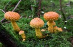 Pholiota flammans 