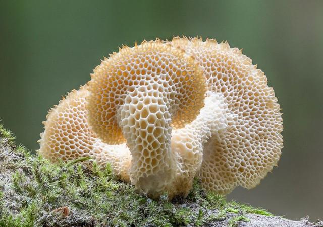 Polyporellus tuberaster  (Jacq. ex Pers.) Pilát 1936 photo Patrick Schifferli 2015