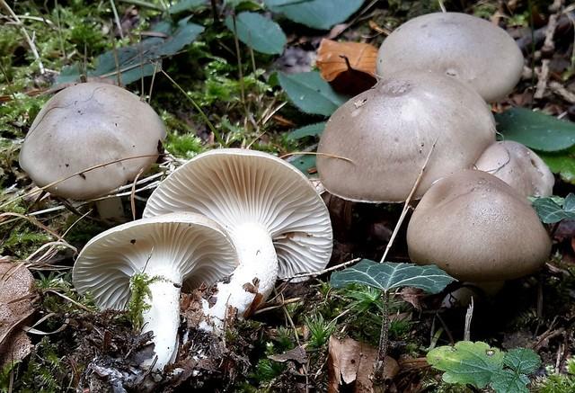 Hygrophorus agathosmus  (Fr.) Fr. 1838 ES - octobre 15