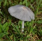 Parasola leiocephala  (P.D. Orton) Redhead, Vilgalys & Hopple 2001 ES - août 15