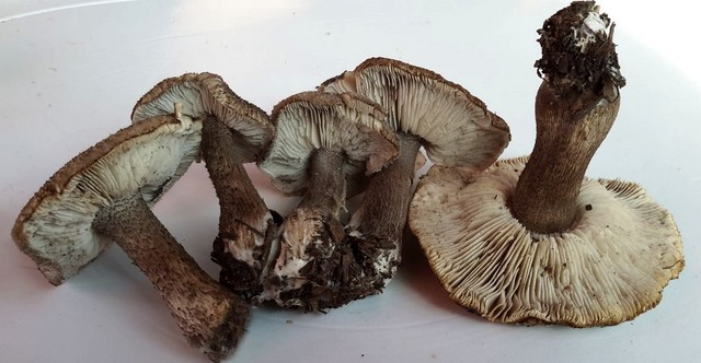 Tricholoma atrosquamosum Sacc. 1887 (var. squarrulosum auct.) ES - octobre 15