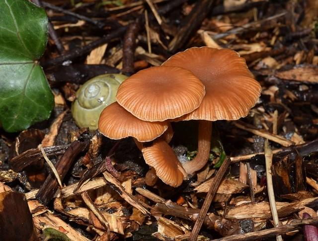 Tubaria hiemalis (T. fufuracea auct.) Romagn. ex Bon 1973 ES mars 15