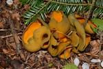 Caloscypha fulgens  (Pers.) Boud. 1885 ES - avril 16