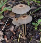 Parasola auricoma (Pat.) Redhead, Vilgalys & Hopple 2001 (Coprinus auricomus auct.) ES - juin 16