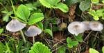 Parasola hemerobia  (Fr.) Redhead, Vilgalys & Hopple 2001 MS - avril 16
