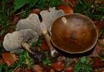Melanoleuca grammopodia  (Bull.) Murrill 1914 ES - octobre 16
