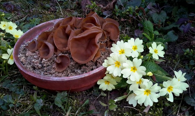 Peziza moravecii suite.. le printemps arrive... ES - mars 16