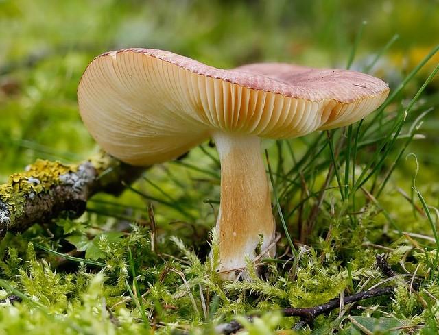 Russula puellaris  Fr. 1838 photo Claude-Alain Berdoz juin 16