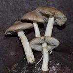 Tricholoma argyraceum  (Bull.) Gillet 1874 ES - novembre 16