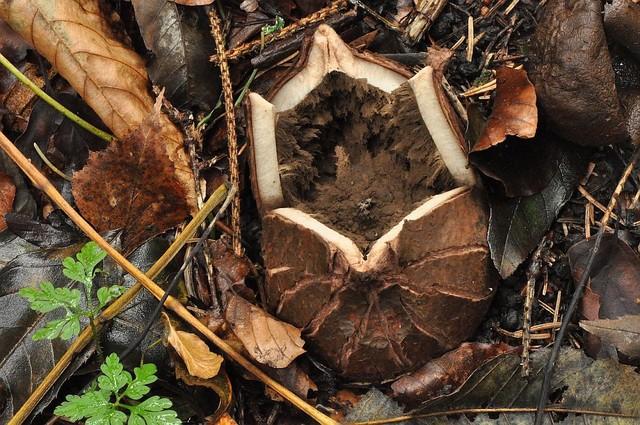 Geastrum melanocephalum  (Czern.) V.J. Staněk 1956 photo Bernard Desponds octobe 17