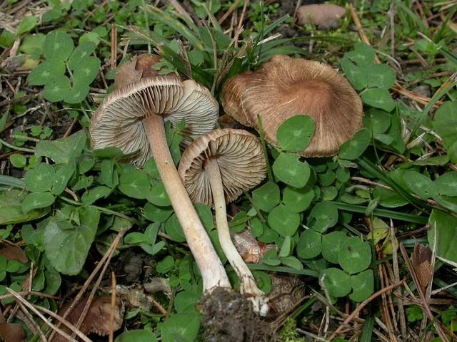 Inocybe phaeoleuca Kühner 1955 (I. splendens auct.) BK 5-56 ES - décembre 17
