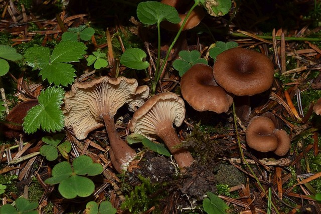 Pseudoomphalina compressipes  (Peck) Singer 1962 (P. kalchbrenneri auct) ES - septembre 17