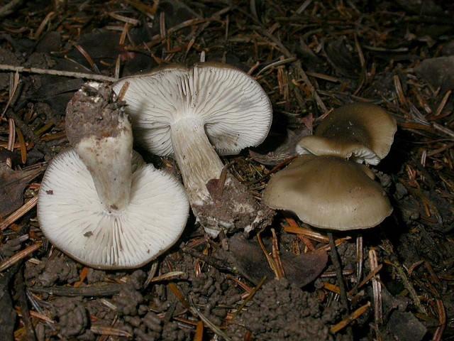 Lyophyllum infumatum (deliberatum auct.) (Bres.) Kühner (1938) ES - octobre 08