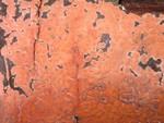 Peniophora incarnata Pers.: Fr.) Karst. photo Gilbert Bovay mars  08