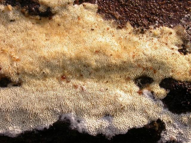 Schizopora paradoxa (Schrad: Fr.) Donk. photo Gilbert Bovay mars  08