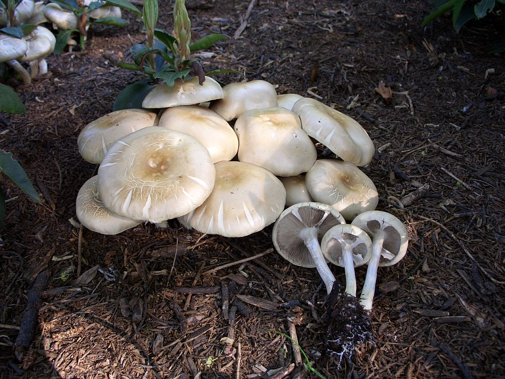 Agrocybe praecox 