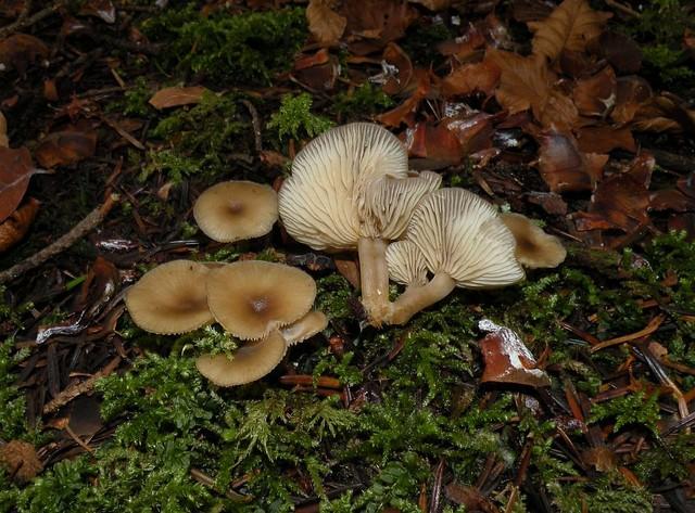 Clitocybe brumalis  (Fr.) Quél. (1872) ES - novembre 09