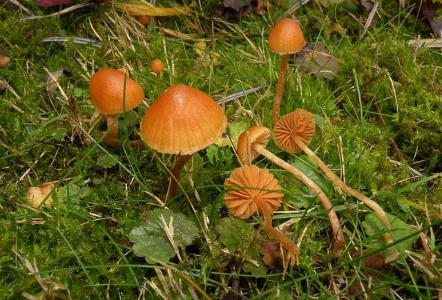 Conocybe siennophylla  (Berk. & Broome) Singer (1955) ES - novembre 09