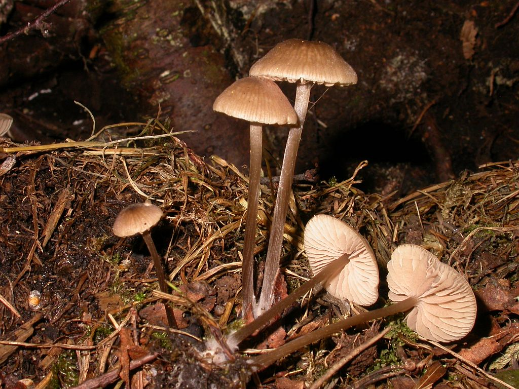 Entoloma nitens  (Velen.) Noordel. (1979) photo Gilbert Bovay août 09