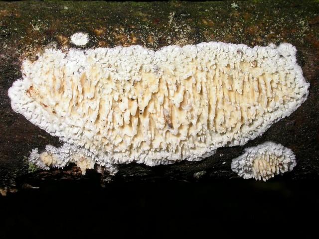 Hyphoderma radula  (Fr.) Donk (1957) photo Gilbert Bovay juillet 09