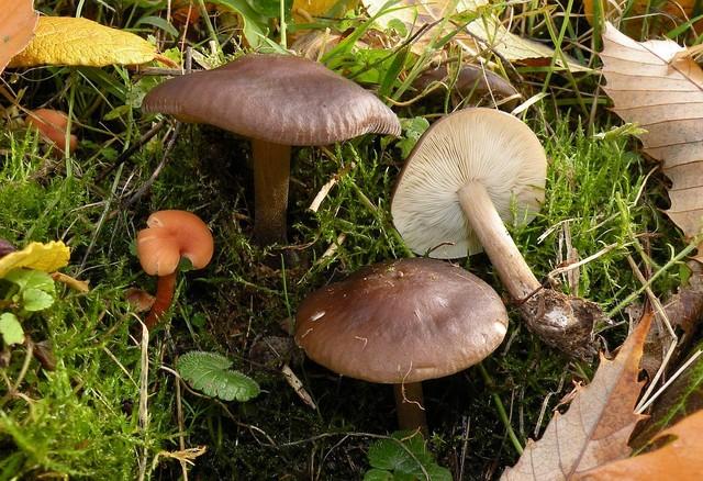 Melanoleuca humilis  (Pers.) Pat. (1900) ES - novembre 09