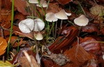 Mycena metata