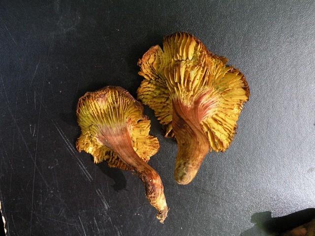 Phylloporus rhodoxanthus  (Schwein.) Bres. (1900) ES - août 09