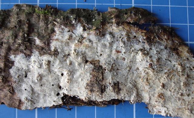Resinicium bicolor  (Alb. & Schwein.) Parmasto (1968) photo Michel Glausen octobre 09