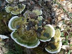 Trametes gibbosa 