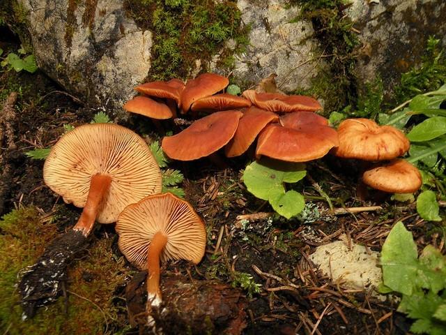 Gymnopus alpinus  Antonín & Noordel. 1997 (Collybia alpina auct,) ES - septembre 10