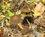Parasola auricoma  (Pat.) Redhead, Vilgalys & Hopple 2001 (Coprinus auricomus Pat.) ES - mai 10